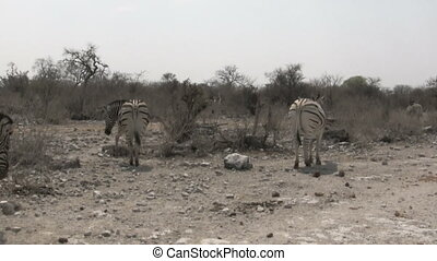 Zebras walking in dry african savanna