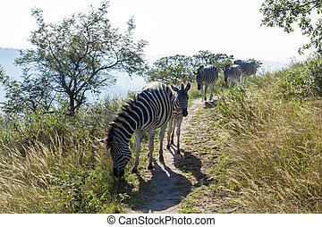 Zebras Wander Along Hiking Trail in Nature Reserve