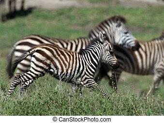 zebre, galloping, su, erboso, pianura