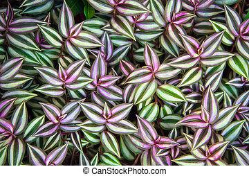 zebrina, tradescantia, bladeren, groene achtergrond