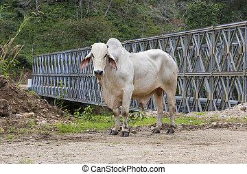 zebu, (bos, touro, indicus), é, ficar, ligado, estrada