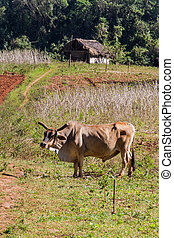 Zebu in fields of Vinales valley, Cub