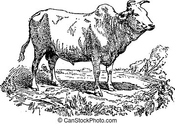Zebu or Humped cattle, vintage engraving.