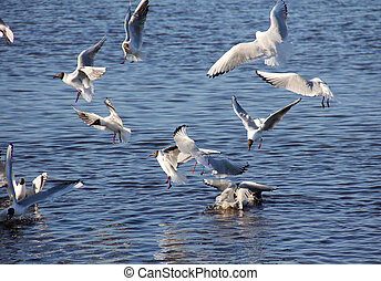 zee gulls, zes