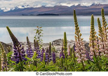 zeeland, berg, tekapo, llupins, meer, majestueus, bloeien,...