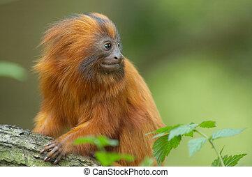 zeer, schattig, aap, rood