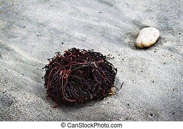 zeewier, wortels
