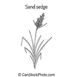 zegge, plant, arenaria, medicinaal, carex, zand