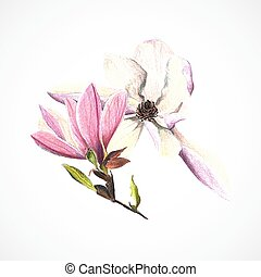 zeichnung, vektor, hand, bleistifte, bild, magnolie, farbe