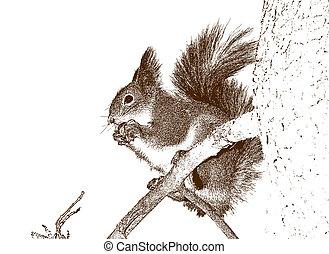 zeichnung, von, der, squirrel.