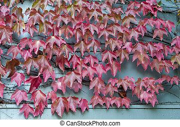 zelândia, ampelopsis, uva, madeira, folhas, videira, ramos, arrepiado, arrowtown, cidade, histórico, vermelho, novo, selvagem, parede escalando