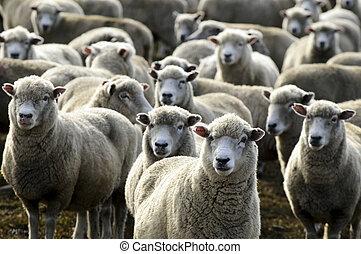zelândia, ovelhas cultivam, viagem, -, novo