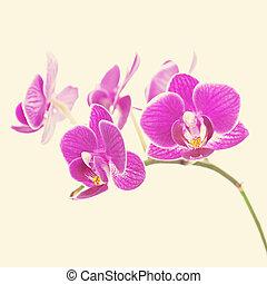 zelden, paarse , orchidee, met, retro, fil