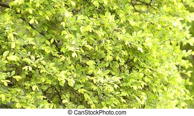 Zelkova tree leaves swaying - Fresh green small zelkova tree...