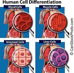zelle, differentiation, satz, menschliche