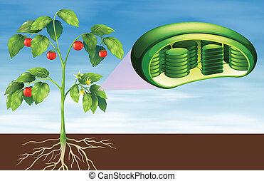 zelle, koerperbau, pflanze