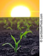 zemědělský, obilí, vzrůstající, plocha