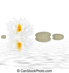 Zen Beauty - Abstract of a white lotus lily (gladstoniana...