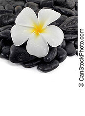 zen stones with white frangipani flower and text space
