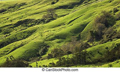 zentrales kalifornien, weide, in, fruehjahr