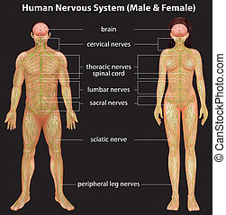 zenuwgestel, menselijk