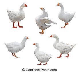 zes, geese