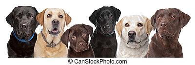 zes, labrador, honden, in een rij