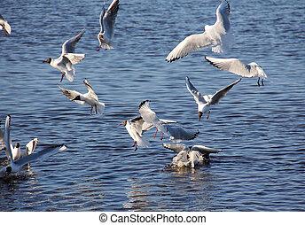 zes, zee gulls