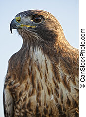 Portrait of a beautiful Red Tailed Hawk or Buteo Jamaicensis