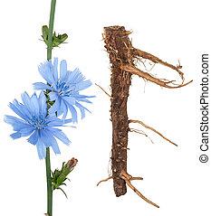 zichorie, medizinisch, plant:
