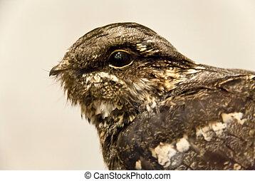 Ziegenmelker - nightjar - caprimulgus europaeus - Head of a ...