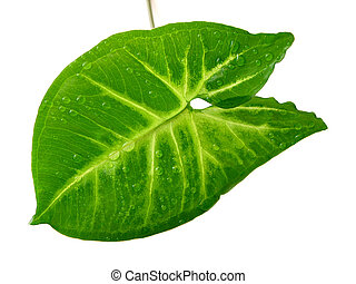 zieleń biała, liść, tło