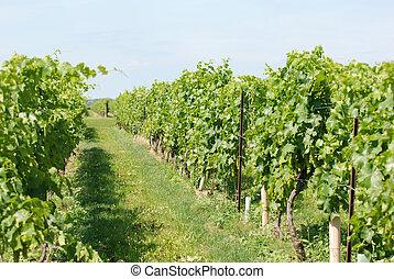 zieleń grape, winorośle