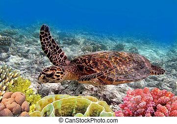 zieleń morska żółwiowa, pływacki, w, ocean, morze