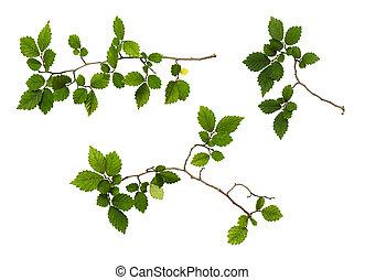 zielone listowie, komplet, gałęzie, świeży