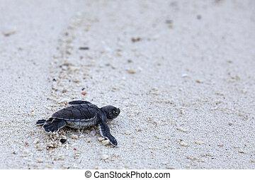 zielony żółwiowy, hatchlings