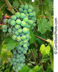 zielony, bułgar, winogrono