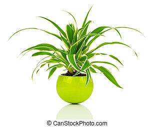zielony, chlorophytum, roślina, w, przedimek określony przed rzeczownikami, garnek, zimozielona bylina, floweri