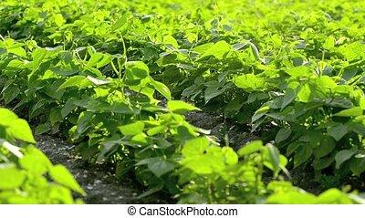 zielony groszek, pole