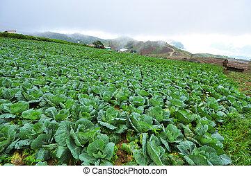 zielony, kapusty, w, przedimek określony przed rzeczownikami, rolnictwo, pola