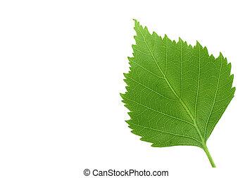 zielony liść, na, czysty, w
