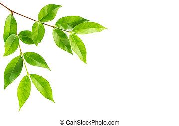 zielony liść, odizolowany, tło