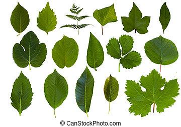 zielony liść, odizolowany, zbiór