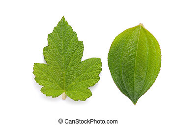 zielony liść, szczegół, żyła, świeży