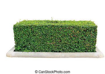 zielony, odizolowany, żywopłot