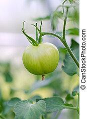 zielony pomidor, szczelnie-do góry patrzeć, na gałęzi