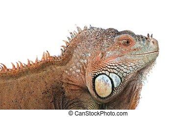 zielony, sprytny, iguana, portret