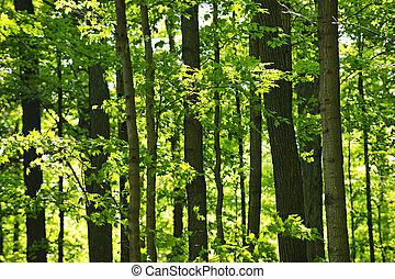 zielony, wiosna, las