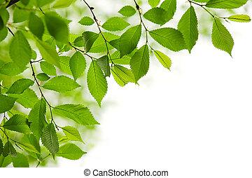 zielony, wiosna, liście, na białym, tło