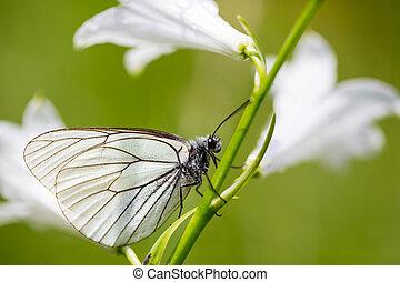 zijaanzicht, black-veined, witte , vlinder, (aporia, crataegi), steel, witte , bloem